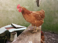 rooster and laying hen for sale