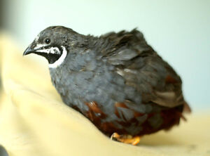 Incubators, Quail & Chicken chicks and hatching eggs for sale