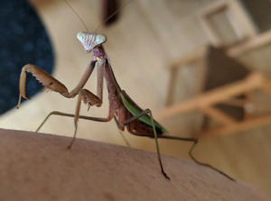 Praying Mantis Nymphs