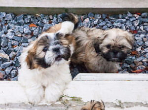 Miniature Imperial male Shih tzu available. HOUSE TRAINED! TRUE!