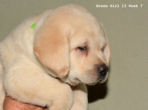 One PB Yellow Labrador Girl Puppy