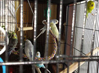 FREE BUDGIES Cages available.