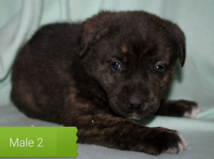 Labrador cross puppies for sale