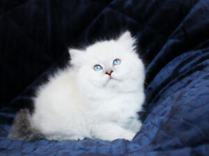 Blue Eyed Persian Kittens for Adoption