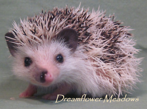 Adorable young hedgie for sale