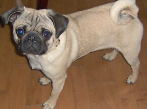 Reg. FAWN or BLACK PUG PUPPIES London Ontario image 4