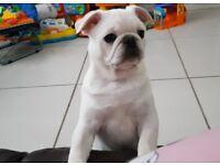 KC reg white pug puppy