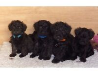 beautiful litter of schnoodle puppies schnauzer x poodle.