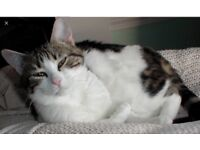 Missing Cat Inveresk road/ Burgh PS Musselburgh
