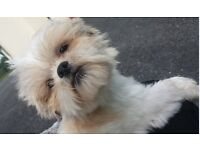 Shih Tzu - Cute wee shitzu for sale, 6 yr old Shihtzu blonde white