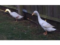 2 runner ducks and 1 pekin duck for sale. £15 each or £45 for three