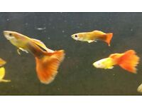 I got over 20 adult male Red Tail guppies for sale, £1 each