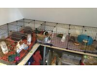 3 Male Guinea Pigs with Cages and Accessories