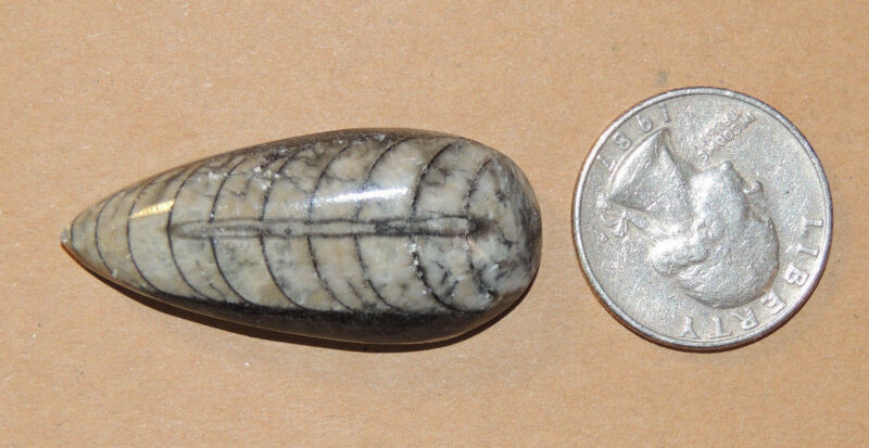 Orthoceras Fossil a Nautiloid Cephalopod on Matrix over 1 inch long (8861)
