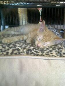 """Baby Female Cat - Domestic Short Hair: """"Kittens"""""""