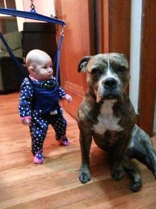 "STOLEN DOG ""Layne"" Brindle Boxer/Bulldog"