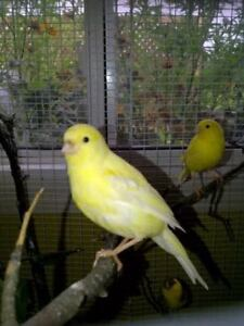 WANTED MALE CANARY