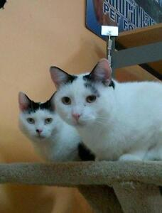 """Adult Female Cat - Domestic Short Hair-black and white: """"Bianca"""""""
