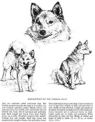 Finnish Spitz Sketch  1963 Vintage Dog Print  Matted