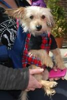 "Adult Male Dog - Yorkshire Terrier Yorkie: ""Lenny"""