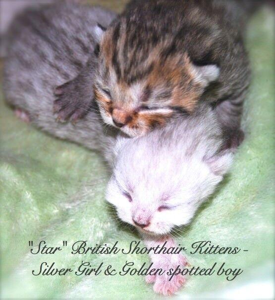 British Shorthair kittens - Champion quality Silver & Golden | in Ayr,  South Ayrshire | Gumtree