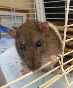 "Young Male Small & Furry - Rat: ""Pluto"""