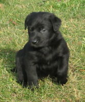 Purebred? Lab Puppies