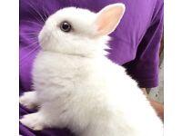 Baby Netherlands dwarf rabbit