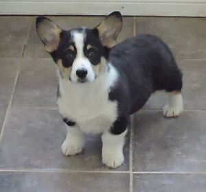 Pembroke Corgis- Now ON SALE