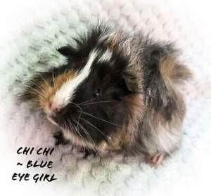 Beautiful Baby Guinea's ready for their new families