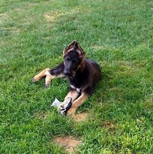 CKC REG GERMAN SHEPHERD MALE PUP