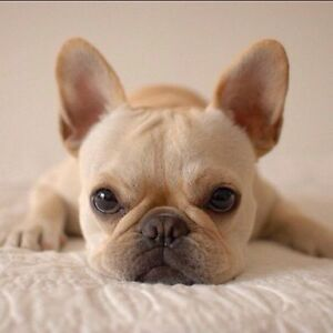 Looking for a female french bulldog