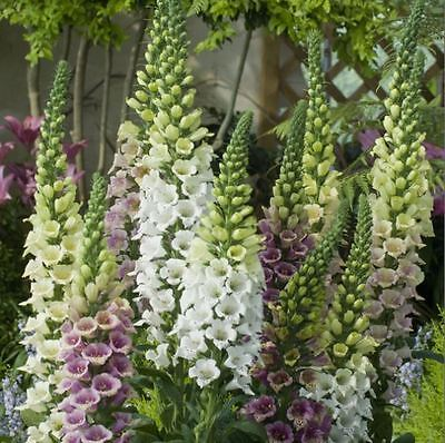 Digitalis Pam/'s Choice 50 graines-Best New Foxgloves