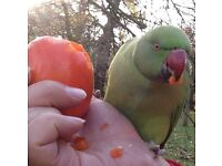 Beautiful happy light Green ring-neck parrot