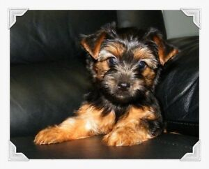 Yorkshire terrier Puppies Canadian Kennel Club Registered