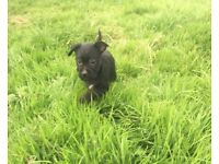 Puppies for sale terrier X