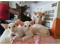Beautiful siamese and oriental kittens
