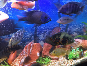 Beautiful African Cichlids For Sale