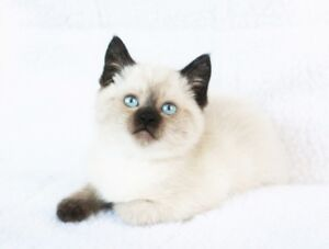 Ragdoll Siamase Kittens are Available for Rehoming