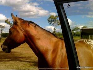 14.2hh Bay, Arab/Appy mare Railway Estate Townsville City Preview