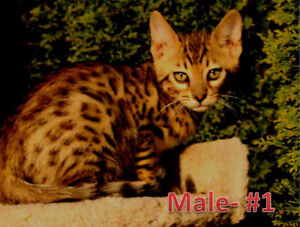 Royal Bengals for sale