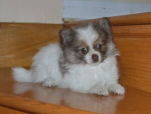 POMERANIAN CHIHUAHUA MIX PUPPIES