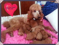 Beautiful red & blond goldendoodles for sale