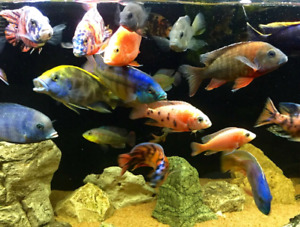 African  Cichlids  for sale..Peacocks  Fall specials