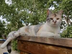 Lost Cat in Huntington NW Calgary