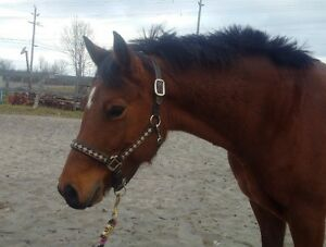 Bight Bay Crossbred Mare, 5yrs old, 3 lovely gaits