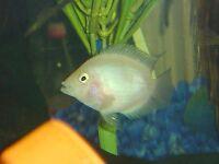 White Parrot Fish