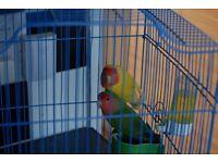 Pair of lovebird for sale