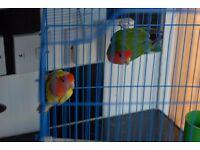 PAIR OF LOVEBIRDS FOR SALE 55