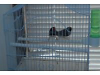 Two male zebra finches for sale